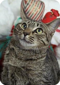 Domestic Shorthair Kitten for adoption in Englewood, Florida - Katie