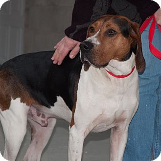 Treeing Walker Coonhound Dog for adoption in New Martinsville, West Virginia - Bozo