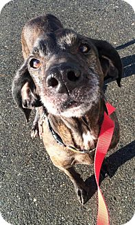 Plott Hound Mix Dog for adoption in Brunswick, Maine - COOPER- foster or forever home