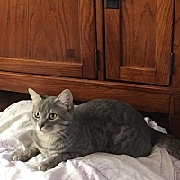Domestic Shorthair Cat for adoption in Bayville, New Jersey - Tin Man