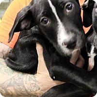 Adopt A Pet :: Bourbon - Gainesville, FL