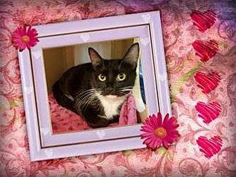 Domestic Shorthair Cat for adoption in Herndon, Virginia - Ms. Pierre