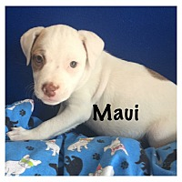 Adopt A Pet :: Maui - Joliet, IL