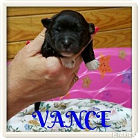 Adopt A Pet :: VANCE - New York, NY