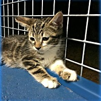 Domestic Shorthair Kitten for adoption in Glendale, Arizona - Flash