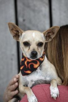 Chihuahua Mix Dog for adoption in Heber City, Utah - Theo