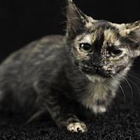 Adopt A Pet :: Sable - Gainesville, FL