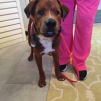 Adopt A Pet :: SAWYER - Okatie, SC