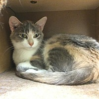 Adopt A Pet :: Catniss - Park Falls, WI