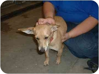 Dachshund Mix Puppy for adoption in Franklin, Indiana - Becca