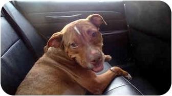 American Staffordshire Terrier Dog for adoption in New York, New York - Romy