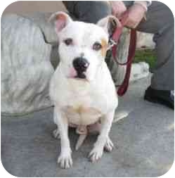 American Pit Bull Terrier Mix Dog for adoption in Berkeley, California - Ripley