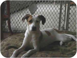 Hound (Unknown Type)/Labrador Retriever Mix Puppy for adoption in Warren, New Jersey - Lily
