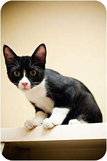Domestic Shorthair Kitten for adoption in Houston, Texas - Max