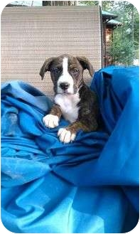 Labrador Retriever/Boxer Mix Puppy for adoption in Harrisonburg, Virginia - Bliss
