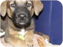 Labrador Retriever Mix Puppy for adoption in Okotoks, Alberta - Keegan