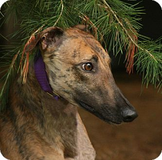 Greyhound Puppy for adoption in Portland, Oregon - Aba
