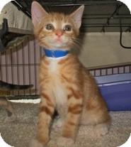 Domestic Shorthair Kitten for adoption in Shelton, Washington - Atlas