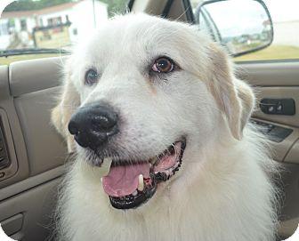 Great Pyrenees Mix Dog for adoption in Harrisonburg, Virginia - Brinkley