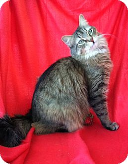 Norwegian Forest Cat Cat for adoption in Whitestone, New York - Chloe
