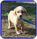 Beagle Mix Puppy for adoption in Portland, Maine - Sam