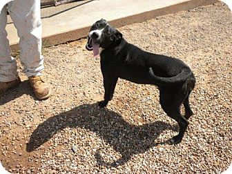Labrador Retriever/Pit Bull Terrier Mix Puppy for adoption in Childress, Texas - Licorice