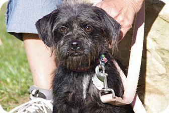 Shih Tzu/Jack Russell Terrier Mix Puppy for adoption in Elyria, Ohio - Lucy