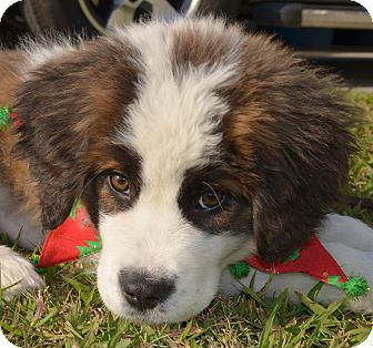 St. Bernard Puppy for adoption in Bellflower, California - Christmas Miracle Puppy