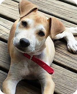 Shar Pei/Labrador Retriever Mix Puppy for adoption in Starkville, Mississippi - Finn