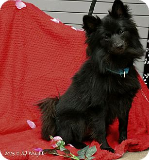 Pomeranian Mix Dog for adoption in Mount Juliet, Tennessee - Kapps