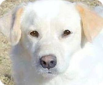 Labrador Retriever Dog for adoption in Wakefield, Rhode Island - GRIFFON(SO GENTLE-SO LOVING!!)