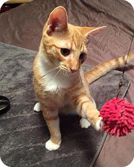 Domestic Shorthair Kitten for adoption in McDonough, Georgia - Chip