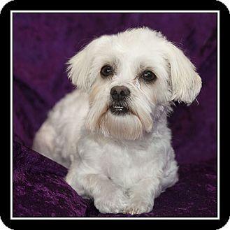 Maltese/Lhasa Apso Mix Dog for adoption in San Diego, California - Eve
