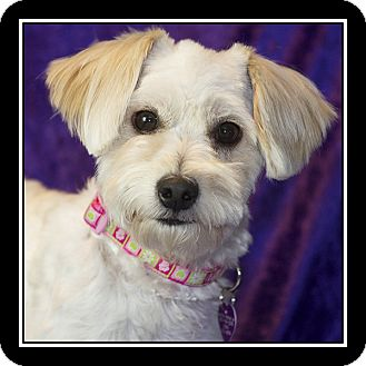 Maltese Mix Dog for adoption in San Diego, California - Fifi