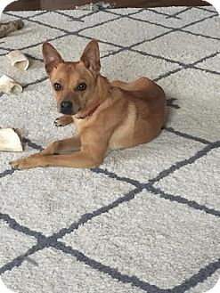 Chihuahua/Pomeranian Mix Dog for adoption in China, Michigan - Brody
