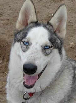 Siberian Husky Dog for adoption in Raleigh, North Carolina - Marlon Brando
