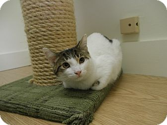 Domestic Shorthair Cat for adoption in Milwaukee, Wisconsin - Chord