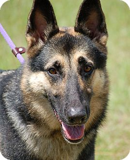 German Shepherd Dog Dog for adoption in Preston, Connecticut - Trina AD 11-18-16