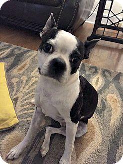 Boston Terrier Dog for adoption in Greensboro, North Carolina - Harper - Adoption Pending
