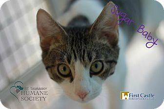Domestic Shorthair Cat for adoption in Covington, Louisiana - Sugarbaby