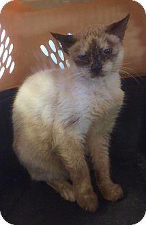 Siamese Cat for adoption in Smithtown, New York - Princess