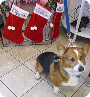 Pembroke Welsh Corgi Dog for adoption in Lomita, California - Aidan Lucas