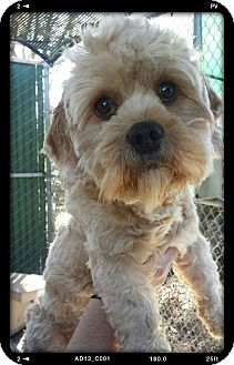 Dandie Dinmont Terrier/Maltese Mix Dog for adoption in San Diego, California - Ari