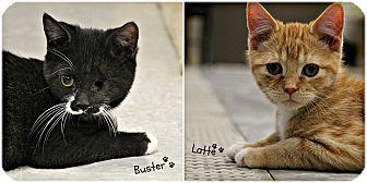 Domestic Shorthair Kitten for adoption in Dunkirk, New York - Latte