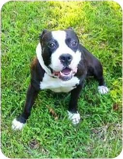 American Bulldog/Staffordshire Bull Terrier Mix Dog for adoption in Mocksville, North Carolina - Coco