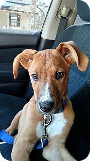 Shepherd (Unknown Type)/Boxer Mix Puppy for adoption in Lima, Pennsylvania - Hero