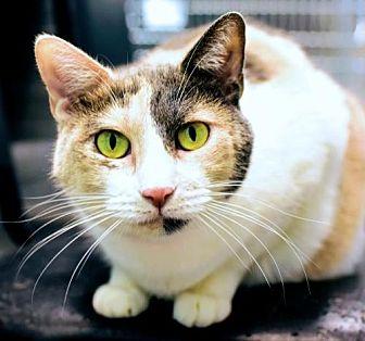 Domestic Shorthair Cat for adoption in Denver, Colorado - Cat Woman Aztec