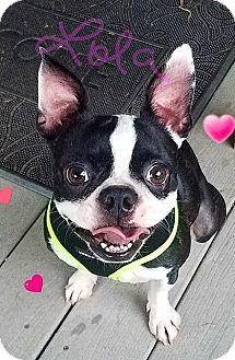 Boston Terrier Dog for adoption in Van Vleck, Texas - Lola