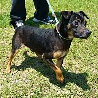 Adopt A Pet :: Black - Alpharetta, GA