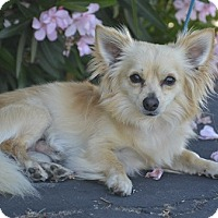 Pomeranian Mix Dog for adoption in Campbell, California - Nacho